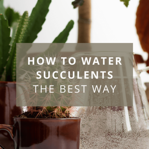 How to water succulents: the best way