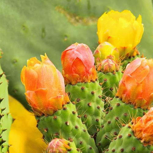 Opuntia Polyacantha Yellow and Orange Flowers