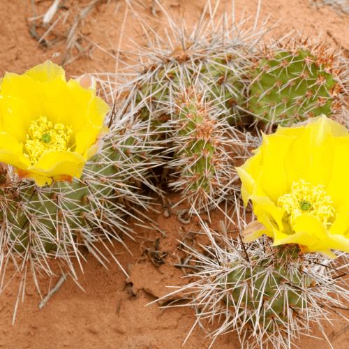 Opuntia Polyacantha Yellow Flowers