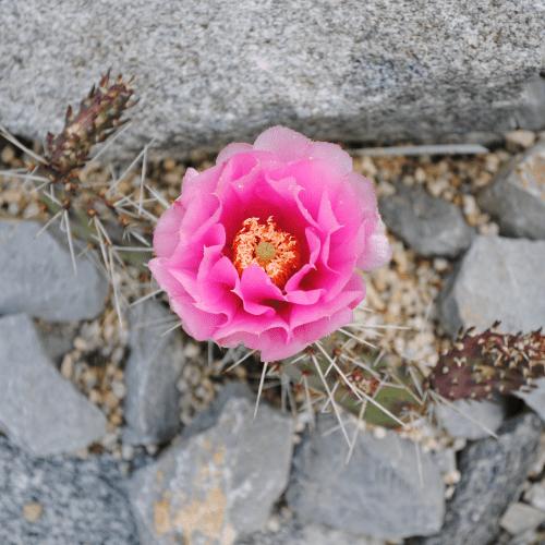 Opuntia Polyacantha Pink Flower
