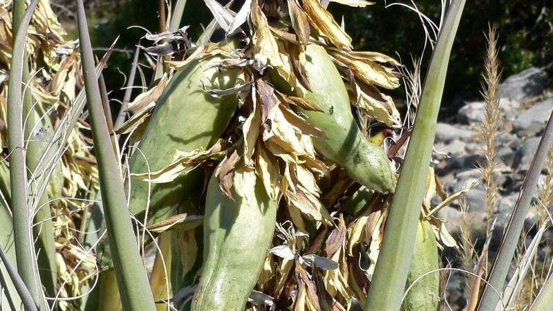banana yucca is edible
