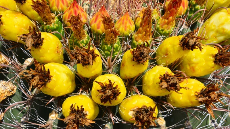 barrel cactus fruit look like tiny pineapples