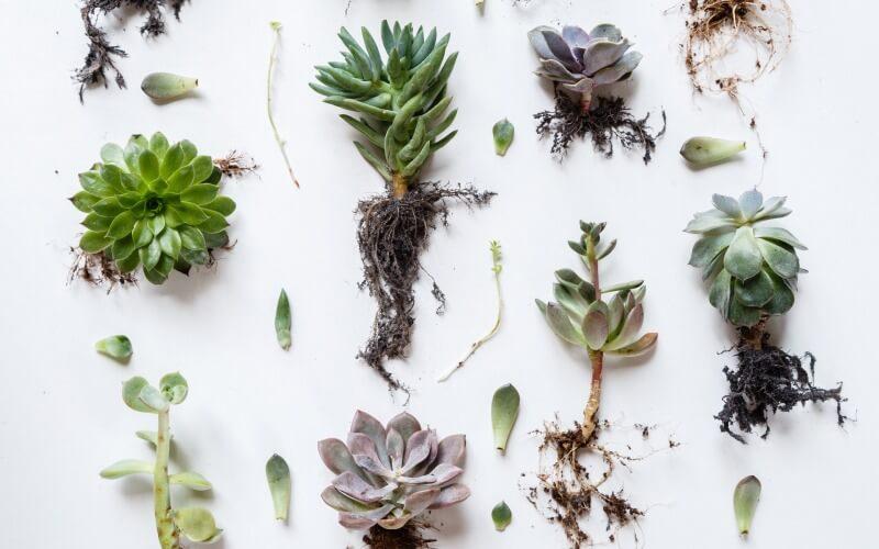Succulent Roots