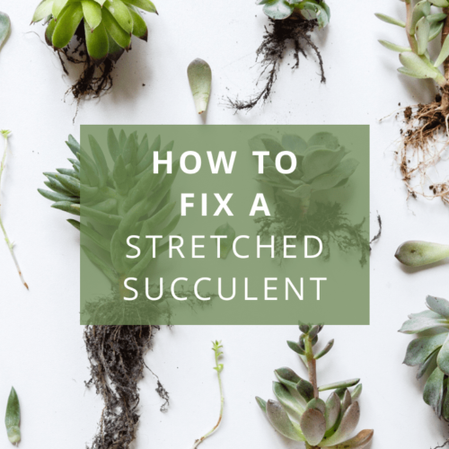 How to fix a stretched succulent