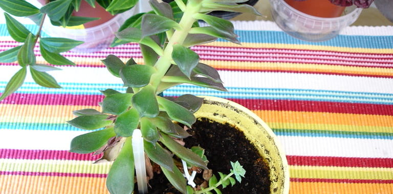 How to fix stretched succulents
