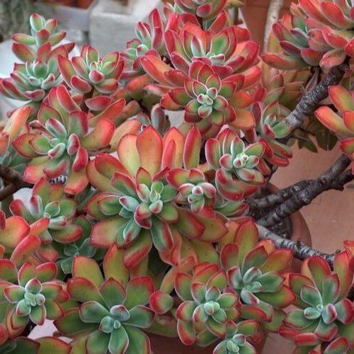 echeveria pulvinata close up image