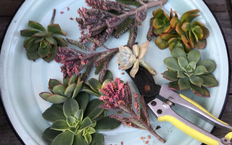Succulent cuttings for tabletop arrangements