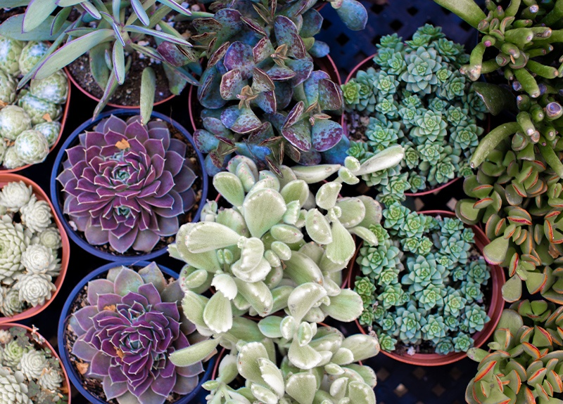 Succulent Types Image Gallery