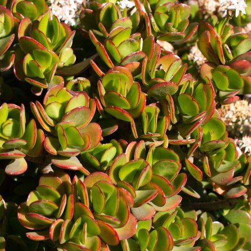 Crassula ovata Succulent Care